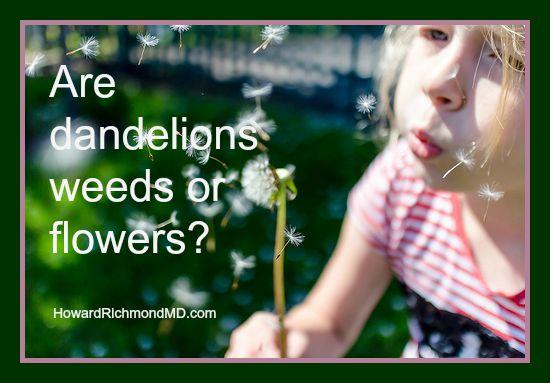 Dandelions - friend or foe